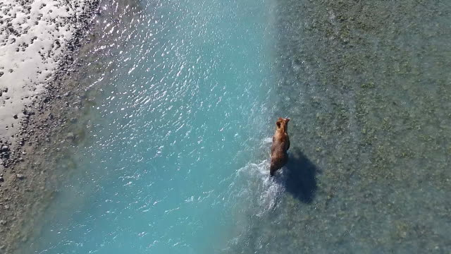 aerial following a brown bear walking up a river looking for fish - 30 seconds or greater stock videos & royalty-free footage