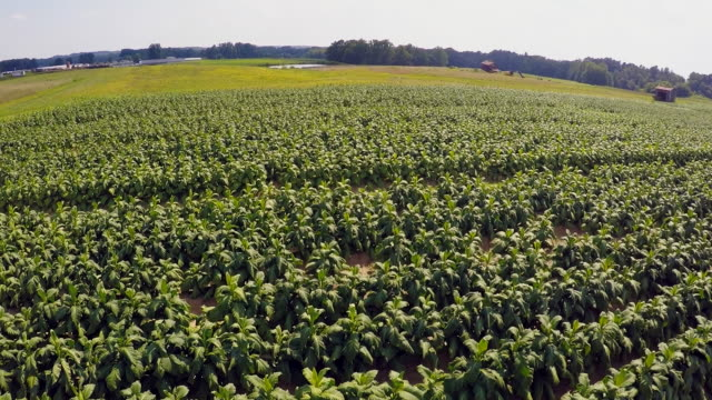 aerial footage from a drone of a tobacco field in southern virginia. - tobacco crop stock videos & royalty-free footage