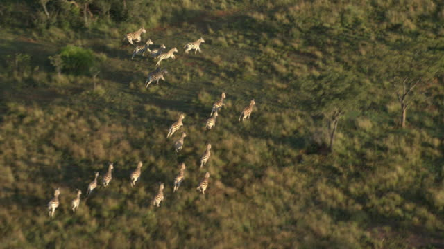Aerial footage of a herd of zebra running