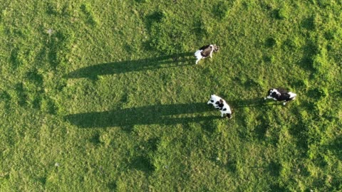aerial footage of cows - cow stock videos & royalty-free footage