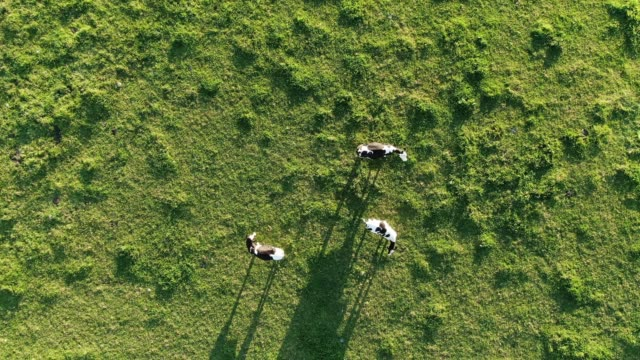 aerial footage of cows - beef stock videos & royalty-free footage