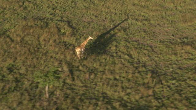 vídeos de stock, filmes e b-roll de aerial footage of giraffe running - girafa