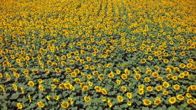 aerial footage of sunflowers field in a row - sunflower stock videos and b-roll footage