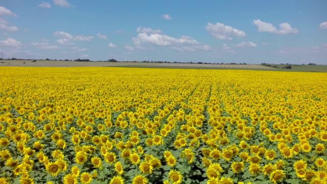 Luftaufnahmen von Sonnenblumen-Feld