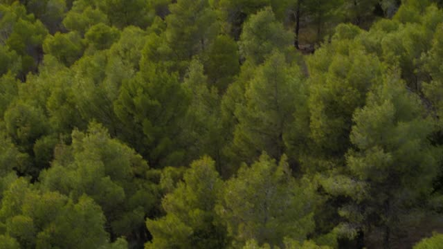 Aerial - forest - an oblique and downward take of the trees of a forest