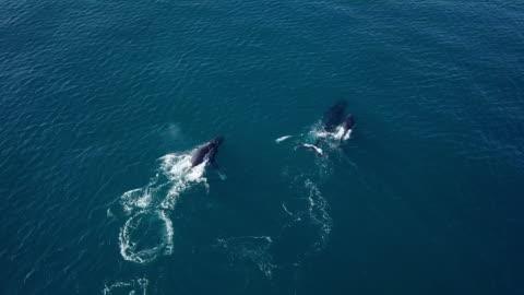 aerial forward: humpback whales gracefully swimming in blue ocean water, noosa, australia - strandsemester bildbanksvideor och videomaterial från bakom kulisserna