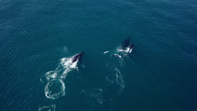 aerial forward: humpback whales gracefully swimming in blue ocean water, noosa, australia - kleine personengruppe stock-videos und b-roll-filmmaterial