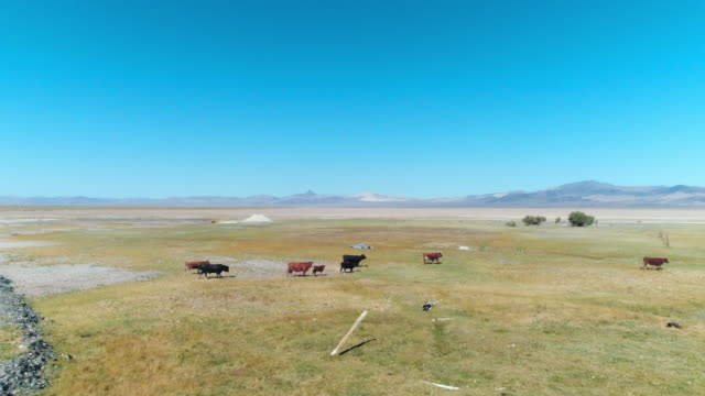 aerial forward: small herd of cows travelling the black desert rock - nevada stock videos & royalty-free footage