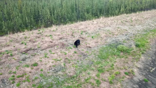 aerial forward tilt: black bear walking in field - chugach national forest stock videos & royalty-free footage