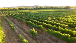 Aerial - Gorgeous Vineyard Sunset