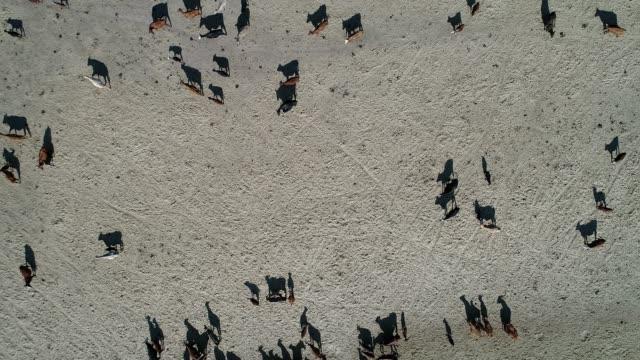 4K aerial herd of cattle in Outback Australia
