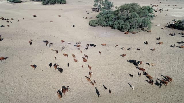 4k aerial herd of cattle in outback australia - rind stock-videos und b-roll-filmmaterial