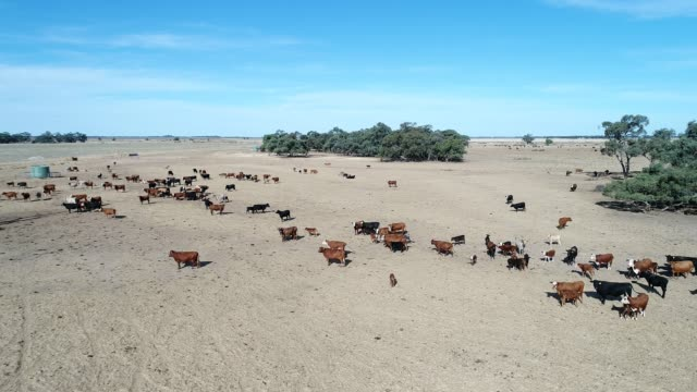 4k aerial herd of cattle in the outback - idyllic stock videos & royalty-free footage