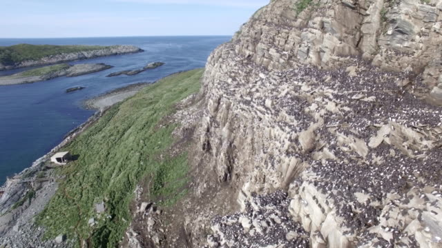 Aerial/ Hornoya island: seabird colony with Razorbill, Atlantic puffin, European shag, Common guillemot, Brünnich's guillemot, Black-legged kittiwake and more