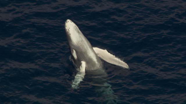 Aerial humpback whale calf breaches, Hawaii