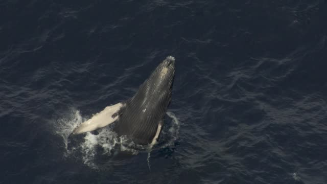 aerial humpback whale calf breaches, hawaii - whale stock videos & royalty-free footage