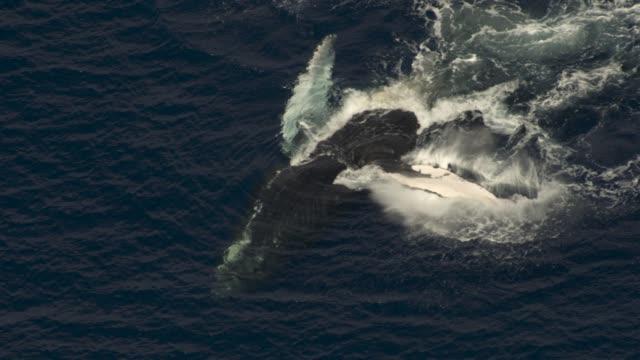 Aerial humpback whale fin slapping in ocean, Hawaii