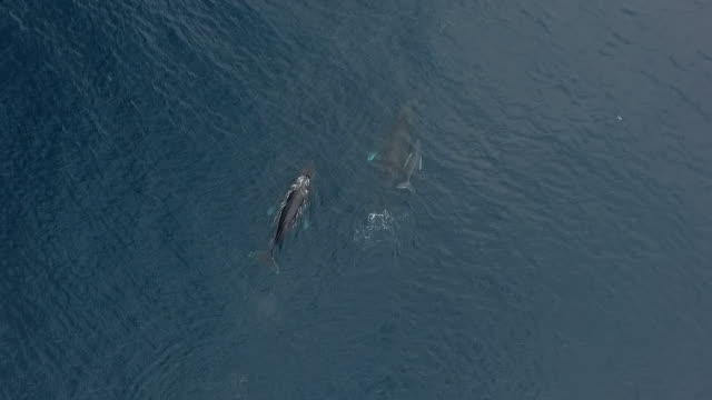 aerial humpback whales and calf - calf stock videos & royalty-free footage
