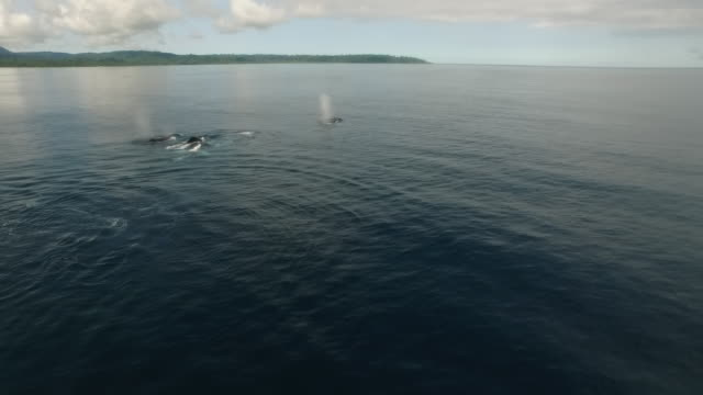 aerial humpback whales during mating chase - small group of animals stock videos & royalty-free footage