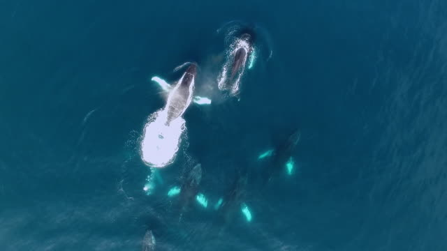 vidéos et rushes de aerial humpback whales during mating chase - groupe de mammifères marins