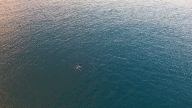 aerial: humpback whales in the ocean at dusk - buckelwal stock-videos und b-roll-filmmaterial