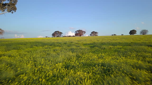 aerial: idyllic canola field with trees against sky on sunny day - canowindra, australia - crucifers stock videos & royalty-free footage