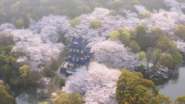 """aerial landscape of the spring cherry blossoms, in wuxi yuantouzhu, also named """"turtle head isle"""" in english - pagoda stock videos & royalty-free footage"""