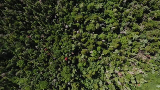 Aerial looing directly down on forest of evergreen trees, daytime