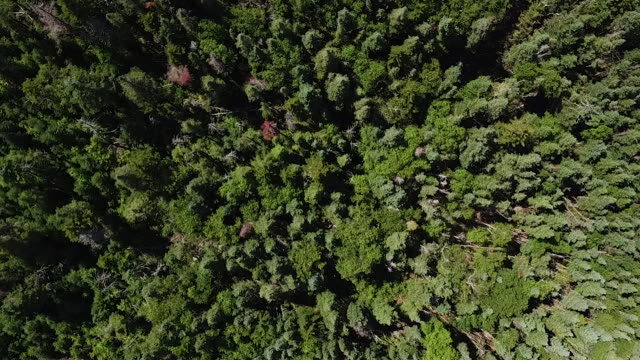 Aerial looing directly down on forest of evergreen trees