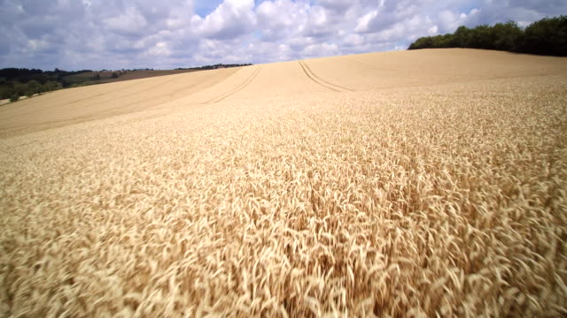 aerial low shot of vast golden wheat field against white puffy clouds