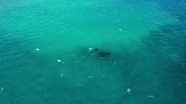 stockvideo's en b-roll-footage met aerial moving forward with a tilt down over a pod of killer whales swimming and breaching ocean surface with a beach shoreline stretching to the horizon in refreshing turquoise waters - exmouth, australia - uit het water springen
