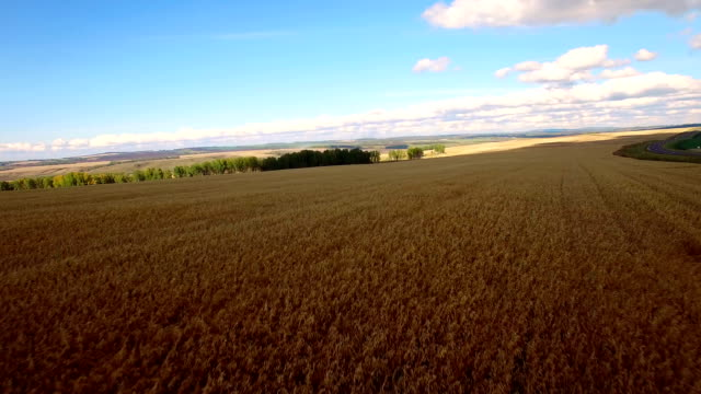 Aerial Oat and wheat fields in the south of Krasnoyarsk region in Siberia.