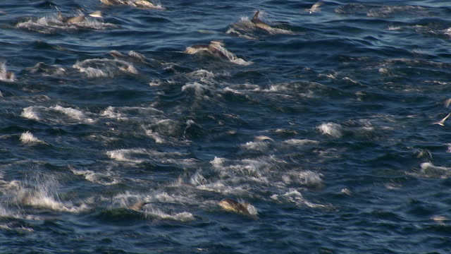 Aerial of a school of dolphins leaping in and out of the ocean