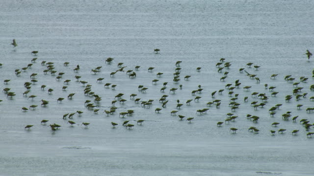 vídeos de stock, filmes e b-roll de aerial of bar-tailed godwit shore birds - pilrito