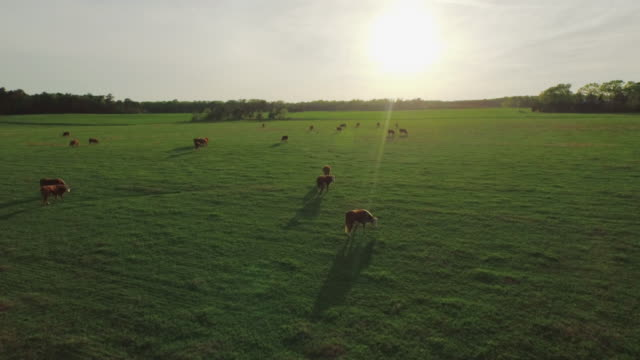 Aerial of Beef Cattle grazing in a green pasture