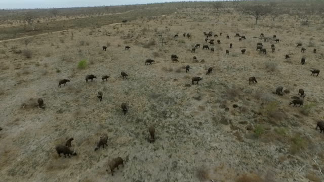 aerial of buffalo her in very dry conditions in kruger national park, south africa - mpumalanga province stock videos and b-roll footage