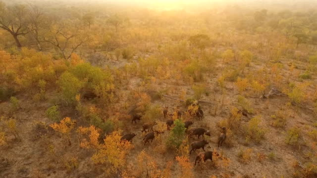 vídeos y material grabado en eventos de stock de aerial of buffalo herd moving through golden woodlands in evening light, kruger national park, south africa - reserva natural