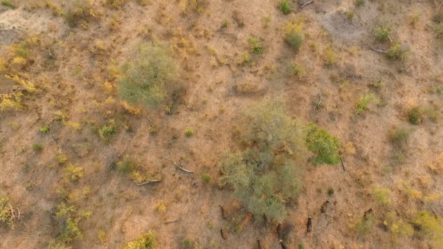 aerial of buffalo herd moving through golden woodlands in evening light, kruger national park, south africa - mpumalanga province stock videos and b-roll footage