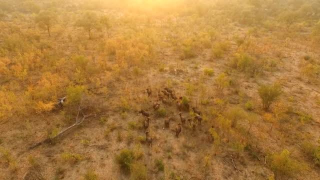 vídeos de stock, filmes e b-roll de aerial of buffalo herd moving through golden woodlands in evening light, kruger national park, south africa - reserva animal
