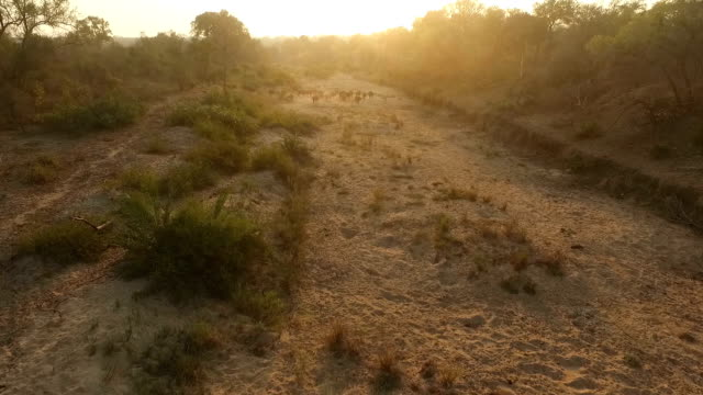 aerial of buffalo herd walking through ravine at sunrise, kruger national park, south africa - 自然保護区点の映像素材/bロール