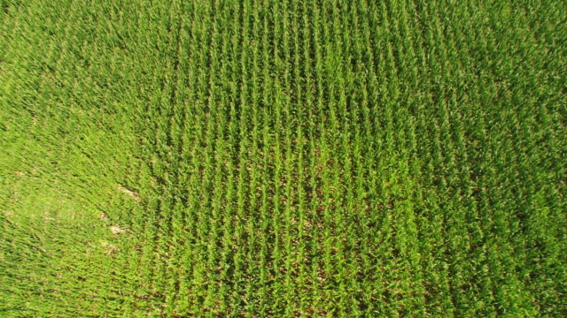 stockvideo's en b-roll-footage met aerial of corn field in virginia ready for harvest - gewas