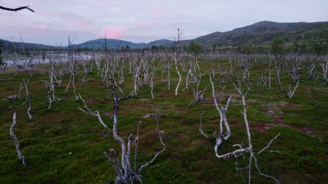"""aerial of dead trees in fjordlands of norway, where a warmer climate has attracted moths which have killed the trees - """"bbc news"""" stock videos & royalty-free footage"""