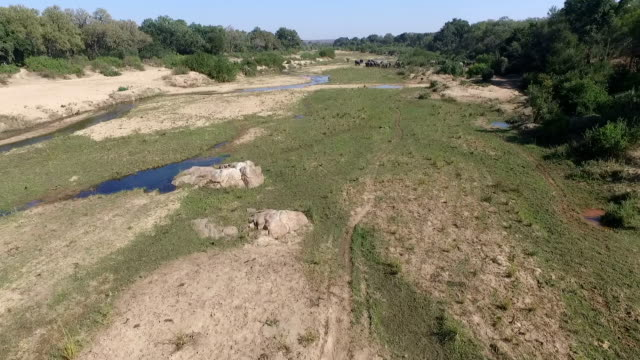 aerial of elephant herd feeding in a large riverbed with water in it, with lions further downstream, kruger national park, south africa - mpumalanga province stock videos and b-roll footage