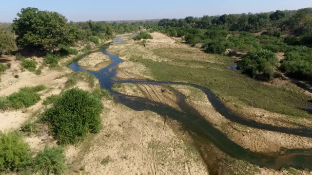 aerial of elephant herd feeding in a large riverbed with water in it, with lions further downstream, kruger national park, south africa - krüger nationalpark stock-videos und b-roll-filmmaterial