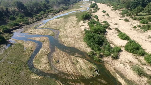 aerial of elephant herd feeding in a large riverbed with water in it, with lions further downstream, kruger national park, south africa - wildlife reserve stock videos & royalty-free footage