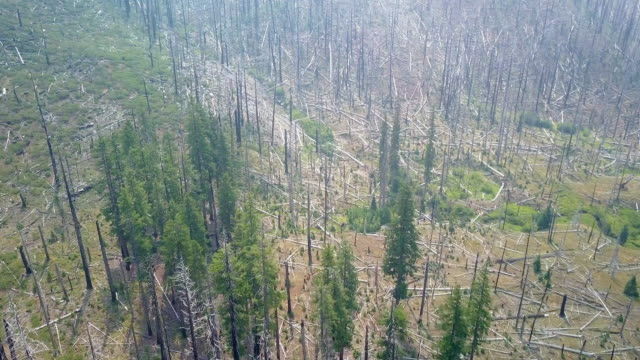 Aerial of Fire Damaged Pine Trees in Oregon