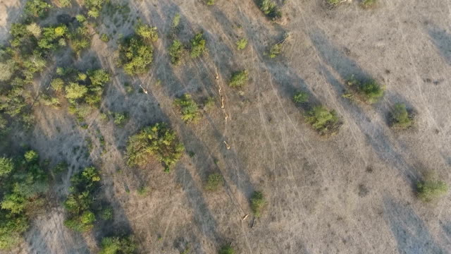aerial of giraffe herd in open clearing, kruger national park, south africa - mpumalanga province stock videos and b-roll footage