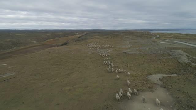 vídeos de stock e filmes b-roll de aerial of herd of sheeps walking through the grassland - gaúcho