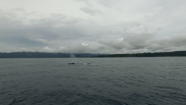 aerial of humpback whales surfacing - surfacing stock videos & royalty-free footage
