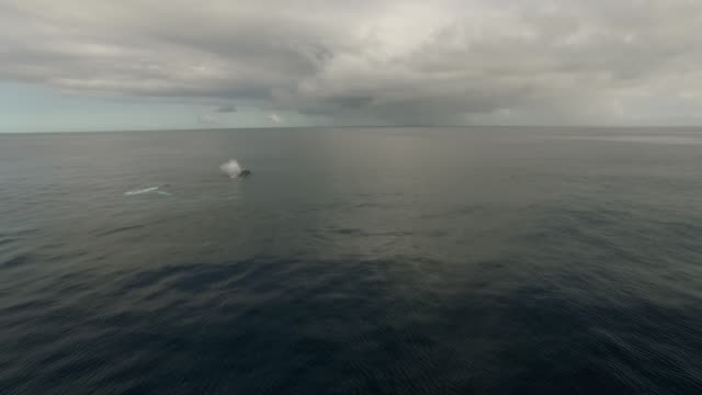 Aerial of humpback whales surfacing